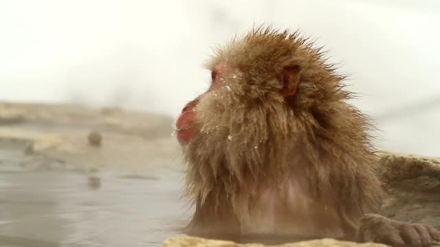 雪猿(ニホンザル)の温泉 ビデオ
