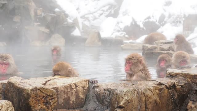 kar maymunu - makak maymunu stok videoları ve detay görüntü çekimi