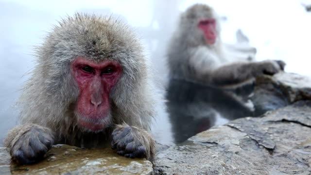 hd vdo: snow monkey - japon makak maymunu stok videoları ve detay görüntü çekimi