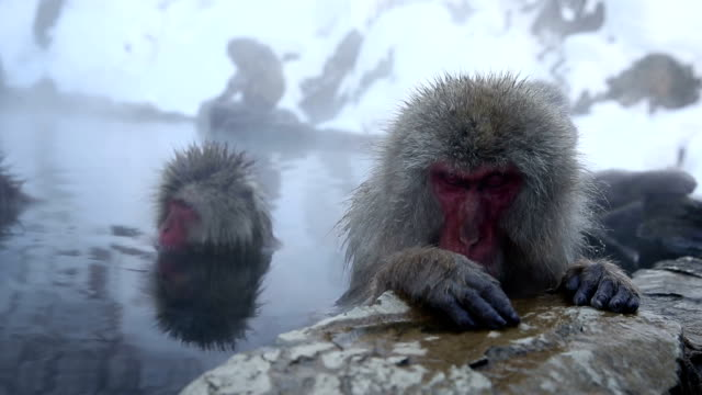 HD VDO: Snow Monkey Japanese Snow Monkey (Japanese Macaque) soaking in a Hot Spring, High Definition 1920x1080 Format japanese macaque stock videos & royalty-free footage