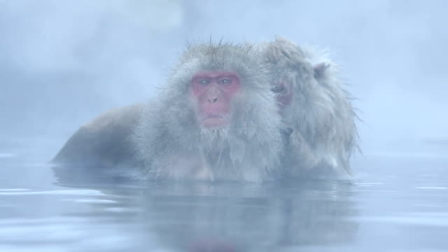 hd vdo: kar maymun - japon makak maymunu stok videoları ve detay görüntü çekimi