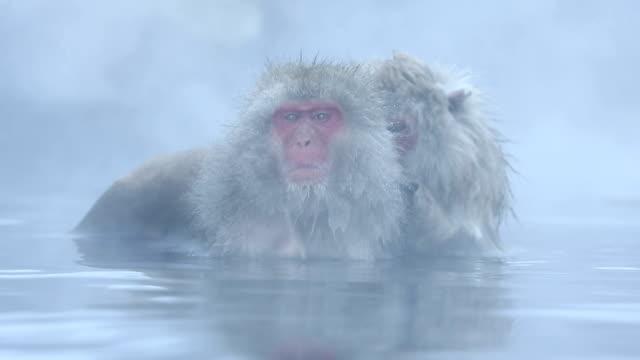 HD-VDO: Schnee Monkey – Video