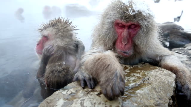 HD VDO: Snow Monkey Two Japanese Snow Monkey (Japanese Macaque) soaking in a Hot Spring, High Definition 1920x1080 Format japanese macaque stock videos & royalty-free footage