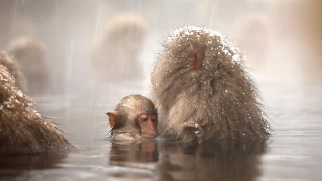 snow monkeys (japanese macaque) in hot spring - japon makak maymunu stok videoları ve detay görüntü çekimi