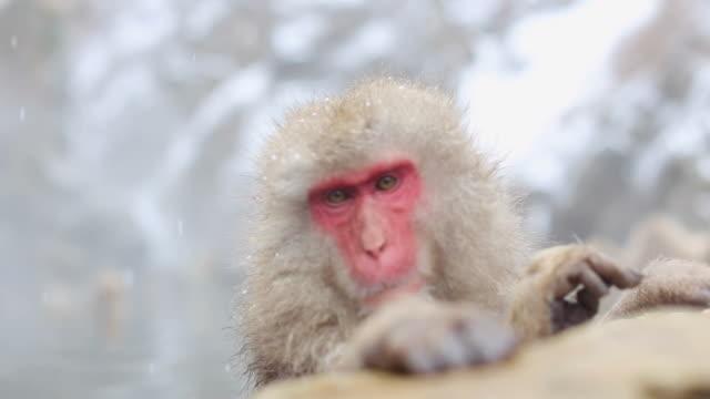 Snow Affen japanischen Makaken Baden Sie in heißen Quellen Onsen in Nagano, Japan – Video