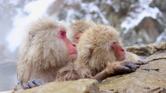 kar maymunları japon makak onsen kaplıcalar içinde nagano, japonya'nın banyo - japon makak maymunu stok videoları ve detay görüntü çekimi