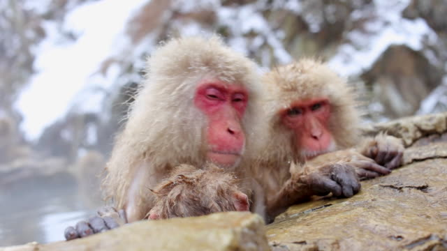Snow Monkeys Japanese Macaques bathe in onsen hot springs of Nagano, Japan video