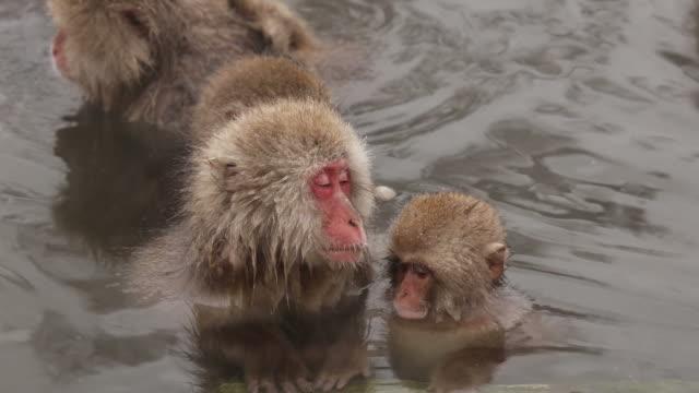 kar maymunları - japon makak maymunu stok videoları ve detay görüntü çekimi