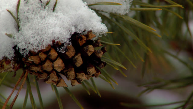 snow on pine cone #2 video
