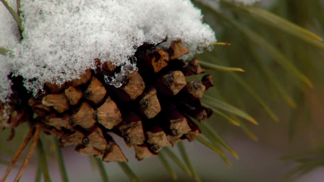 snow on pine cone video
