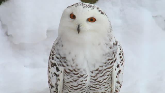 snow owl video