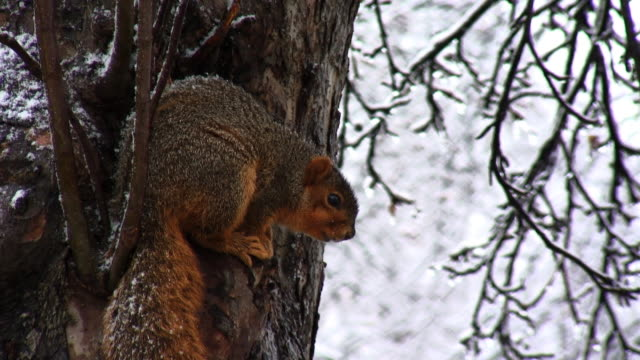 Snow Squirrel 06 video
