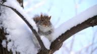 istock Snow squirrel 105642737