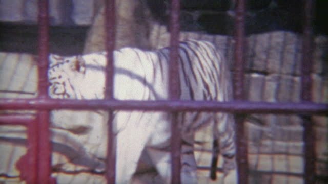 vídeos de stock e filmes b-roll de 1973: snow tiger in cage with thick iron bars. - animal cativo