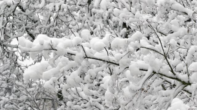 Schneebedeckte Filialen wabern im Wind – Video
