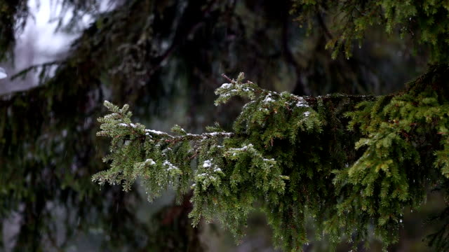 Snow-capped pine branch video