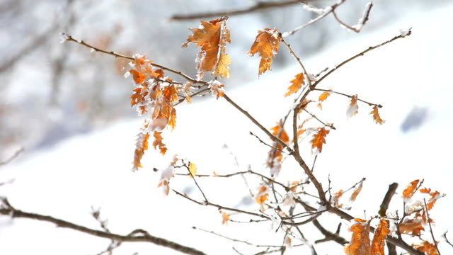 Snow-covered branch during a snow blizzard video