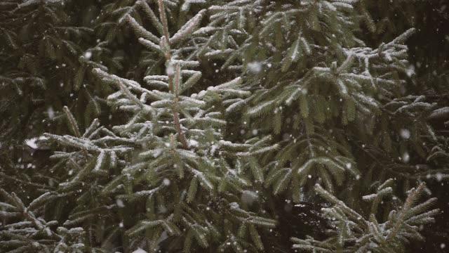snötyngda trädgren i snöfall - städsegrön växt bildbanksvideor och videomaterial från bakom kulisserna