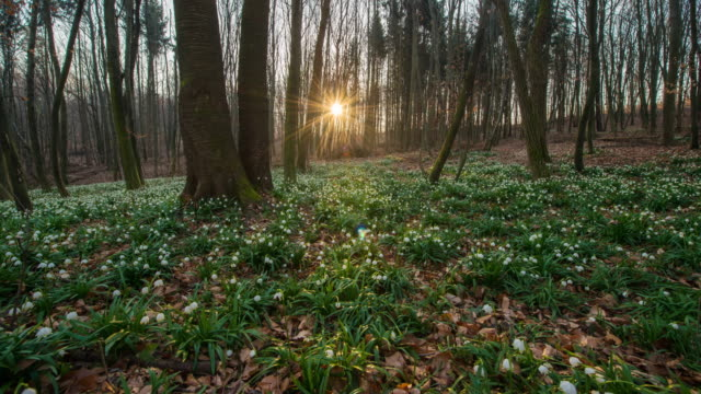 T/L 8K Snowdrops in the forest at sunrise video