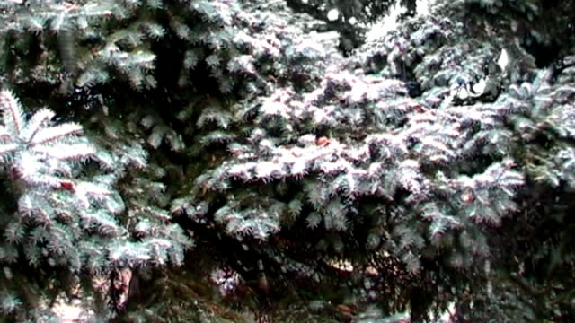 snowfall and spruce video