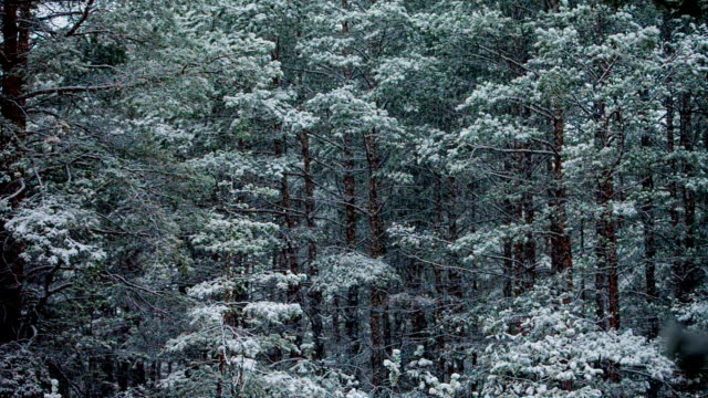 snowfall between trunks of tall pines