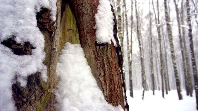 Snowfall in s forest. Tree trunks covered with moss and wet with snow, build up of snow video