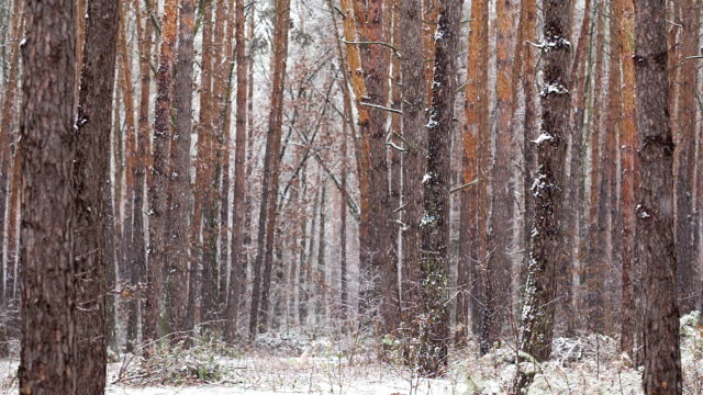 Snowfall in the pine forest. video