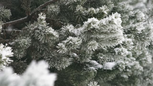 snowfall. trees. winter. snowfall. trees. winter. pine tree stock videos & royalty-free footage