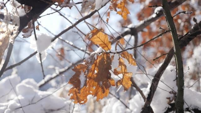 schneeflocke-kristalle und vereister baum zweige zeitlupe 1920 x 1080 hd-filmmaterial - eichenwald goldene blätter unter schnee flachen dof zeitlupe 1080p fullhd video - laub winter stock-videos und b-roll-filmmaterial