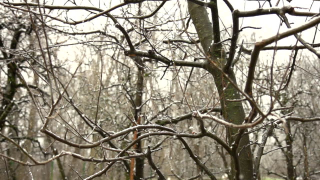HD SUPER SLOW-MO: Snowing In The Forest HD1080p: SUPER SLOW MOTION DOLLY shot of the first snowflakes covering the trees in the forest. plant part stock videos & royalty-free footage