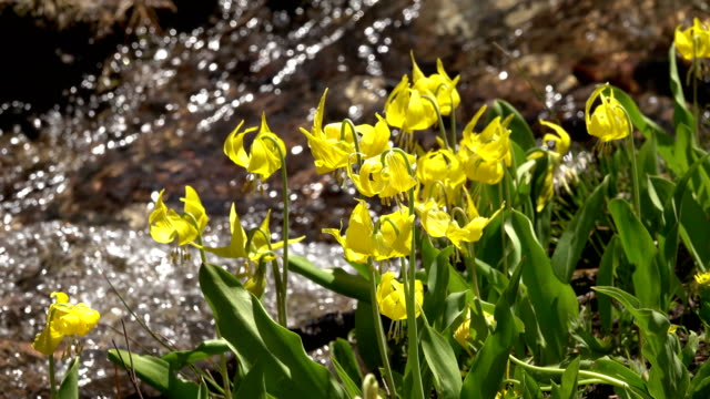 Snowmelt creek flows past avalanche lily wildflowers Medicine Bow Colorado Rocky Mountains video