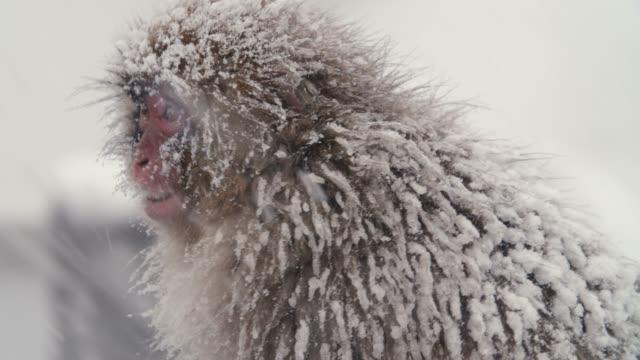-korkutucu maymun - snowmonkey ses ekleme - japon makak maymunu stok videoları ve detay görüntü çekimi