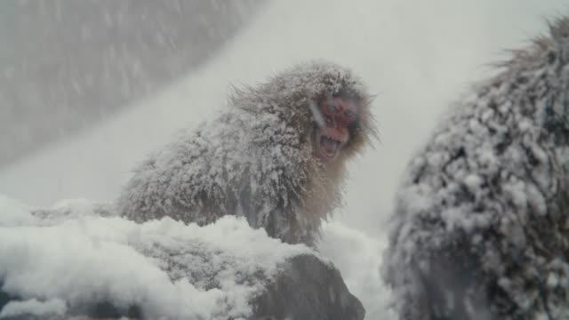 SnowMonkey - einschüchternd Affe - Ton enthalten – Video