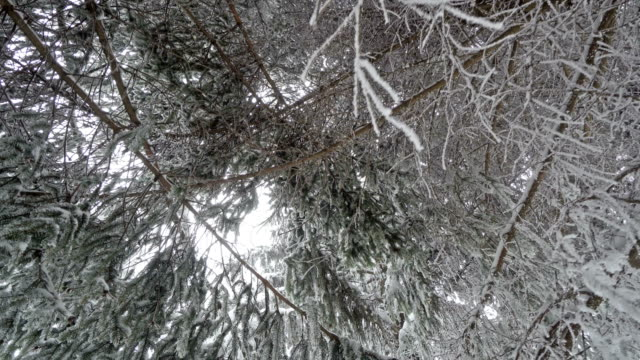 Snowy branches in forest. Winter fairy background, steadicam cinematic movement
