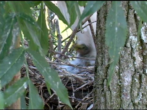Snowy Egret Chicks Closeup video