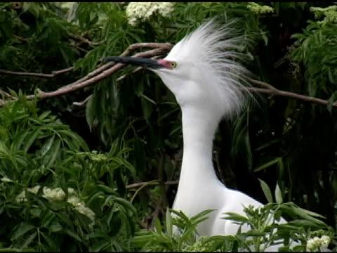snowy egret courtship display - 10 saniyeden daha kısa stok videoları ve detay görüntü çekimi