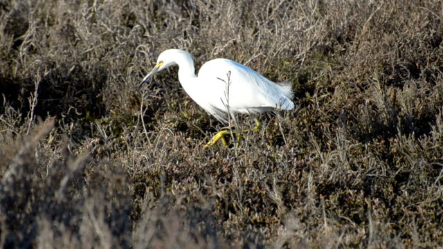 snowy egret  Egretta thula Snowy egret (Egretta thula) searching for food in late afternoon in salt water marsh of San Francisco Bay. Shoreline Park, Mountain View, California, USA. marsh stock videos & royalty-free footage