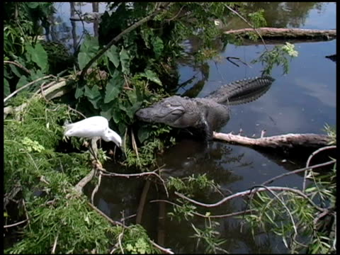 Snowy Egret Flies Too Close to an Alligator