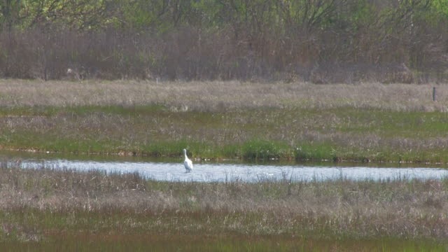 Snowy egret in the swamp 1 - HD 30F
