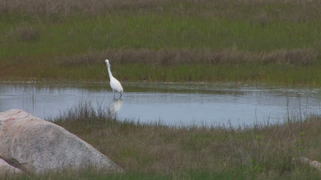 Snowy egret in the swamp 10 - HD 30F