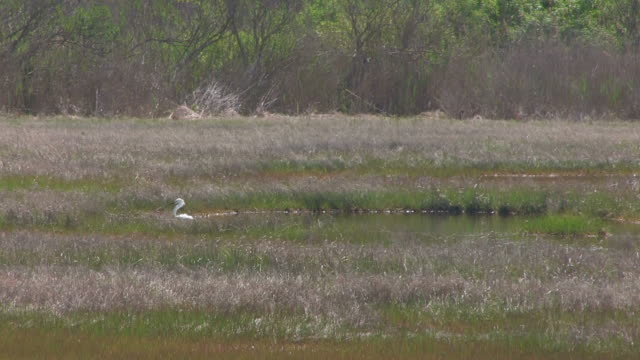 Snowy egret in the swamp 2 - HD 30F