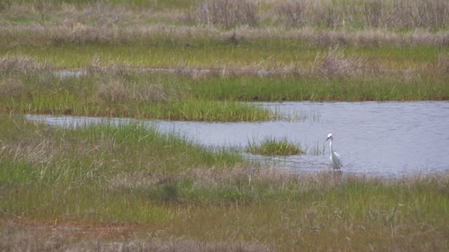 Snowy egret in the swamp 4 - HD 30F