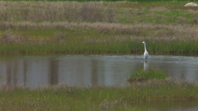 Snowy egret in the swamp 5 - HD 30F