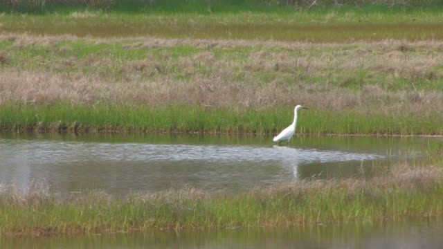 Snowy egret in the swamp 6 - HD 30F