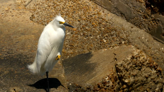 A Snowy Egret Rests on Top of a Concrete Barrier at the Beach