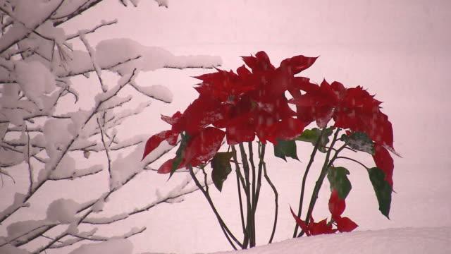 Snowy Poinsettas video