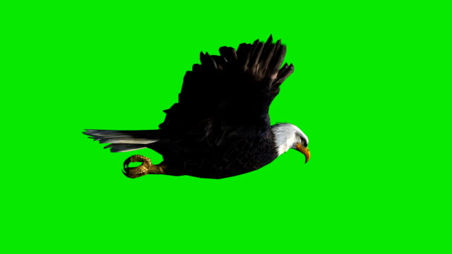 Soaring Eagle Green Screen (Loopable) Design Element eagle bird stock videos & royalty-free footage