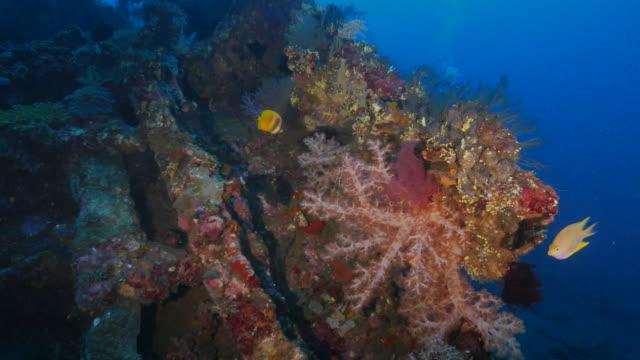 vídeos y material grabado en eventos de stock de coral blando densamente cubierto en liberty naufragio, indonesia (4k - 2015