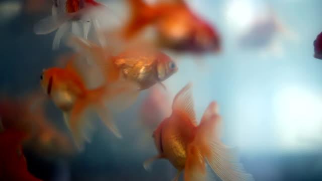 Soft focused beautiful goldfishes swim