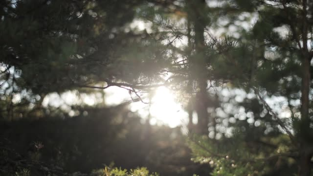 vídeos de stock e filmes b-roll de soft sun beams shine through pine tree needles air macro close up slow motion rack focus. morning sunshine illuminates coniferous forest bokeh motion background. calm meditation conscious being sample - conífera
